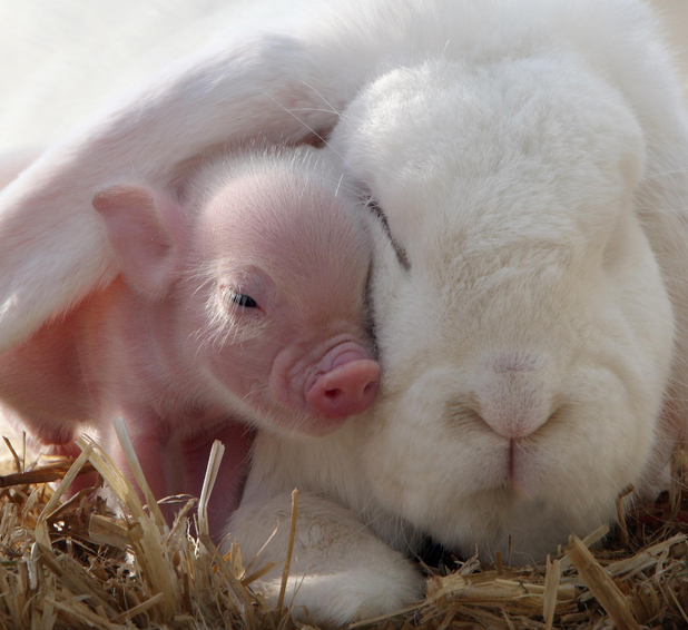 This little micro pig and fluffy white rabbit is bound to make you go