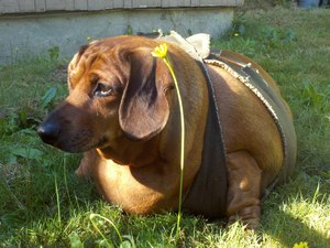 Obie the overweight sausage dog - Dachshund - lying on grass in his harness