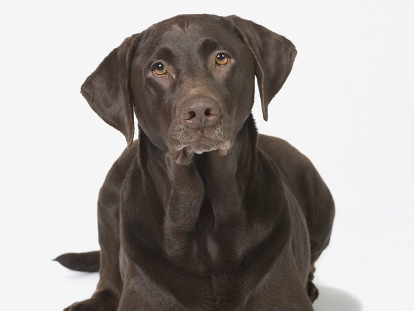 chocolate brown labrador