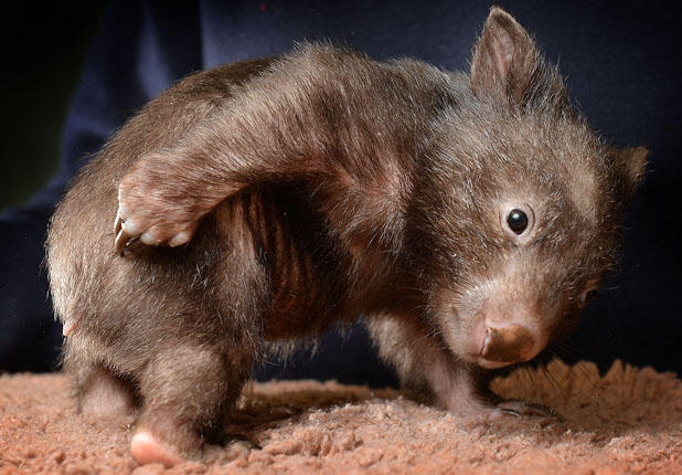 'Bo' the orphaned wombat, Healesville, Victoria, Australia - 06 Jun 2013 'Bo' the orphaned wombat 6 Jun 2013