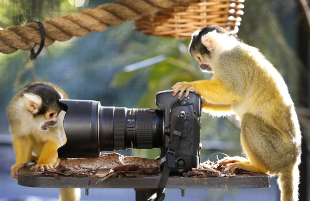 Bolivian squirrel monkeys play with camera, Melbourne Zoo, Australia - 25 Jun 2013 'Cruz' and 'Rodrigo' the Bolivian squirrel monkeys inspect an unattended DSLR camera in their enclosure at Melbourne Zoo 25 Jun 2013