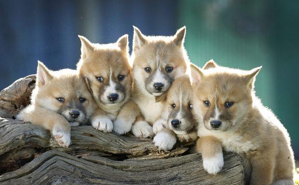 Dingo puppies cute - photo#3