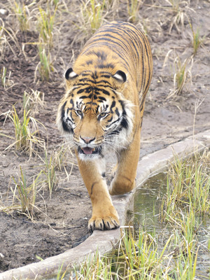 The Zoo, ITV, Tiger Jae Jae, Melati, Wed 10 Jul