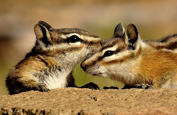 Chipmunks, Colorado, America - Two chipmunks on top and bottom of a branch appear to make a mirror image
