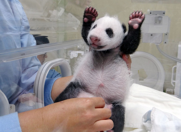 Yuan Zai throws her hands up in the air as she's being cleaned by zoo staff