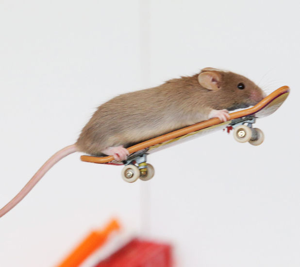 Shane has trained his mice to skateboard