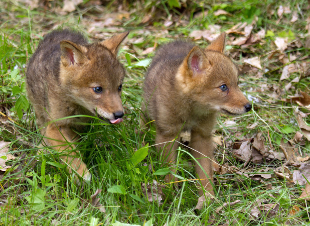 Coyote teaches baby pups to howl at wildlife preserve in Minnesota ...