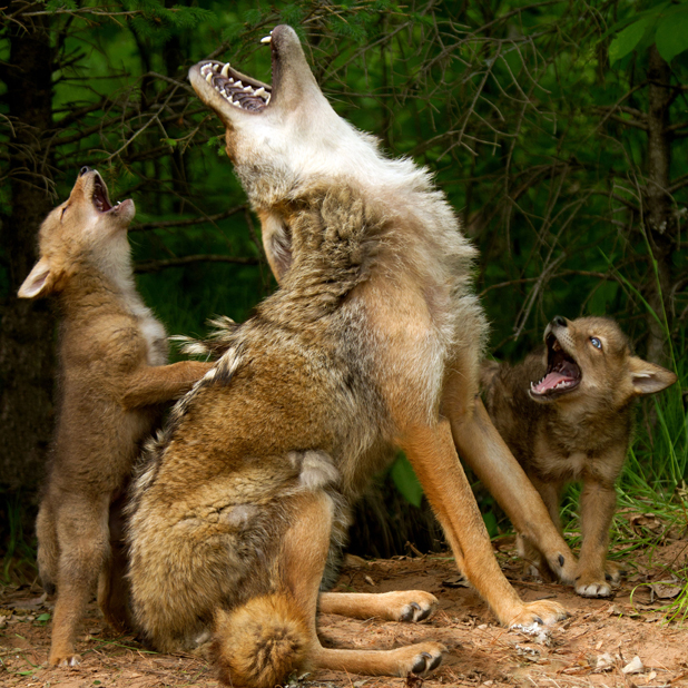 Coyote pups get a howling lesson from their mum, Minnesota, America - 29 Jul 2013 Coyote teachers her pups to howl 29 Jul 2013