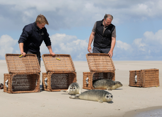 Common seal pups are released back into the wild at the Lower Saxon Wadden Sea Park, Germany - 14 Aug 2013