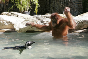 Suriya the orangutan goes for a swim with her penguin friend