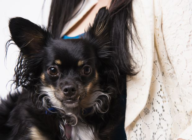 Chihuahuas are traditionally very small