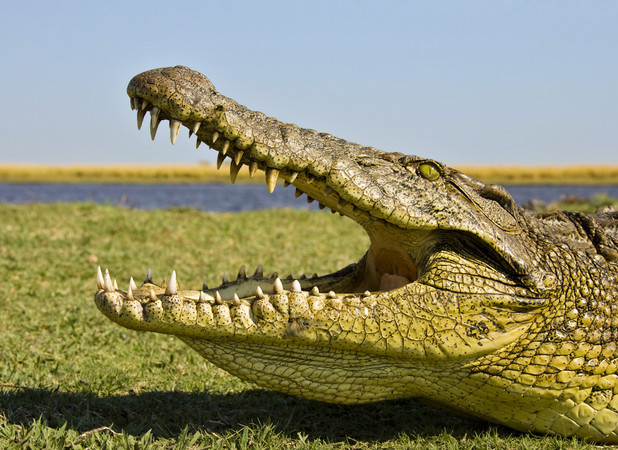 Guy was shocked to find he'd been sleeping with a crocodile under his bed for eight hours!