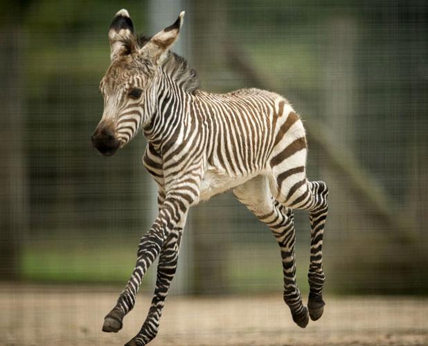 Baby zebra born at Marwell Wildlife, Winchester, Britain - 02 Oct 2013