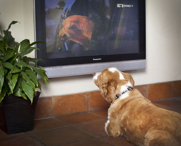 DogTV, the first television channel for dogs - May 2012