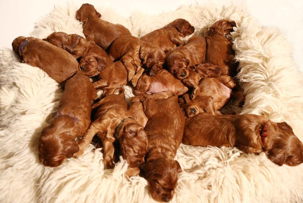 Dog gives birth to 17 puppies, Germany - 01 Nov 2013 Irish red setter puppies.