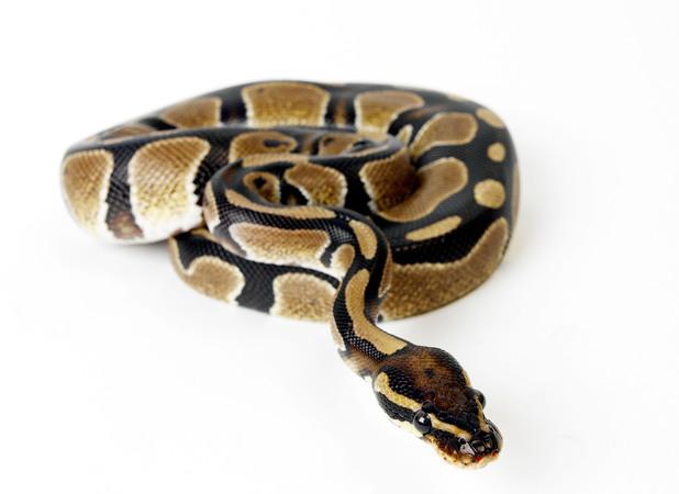Stock image of a Royal Python