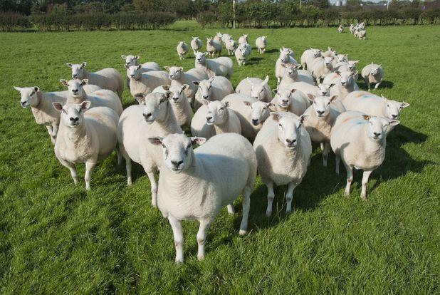 Domestic Sheep, Texel cross ewes, flock standing in pasture, Preston, Lancashire, England, september 2012