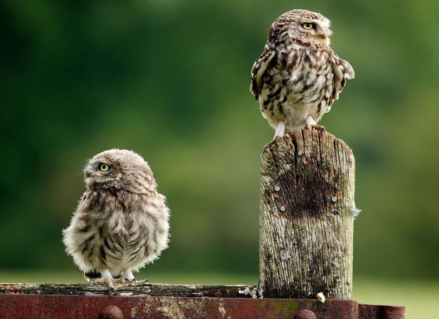 Wildlife photographer captures two Little Owls appearing to kiss, Worcestershire, Britain - 22 Oct 2013 Little Owls sat on a gate