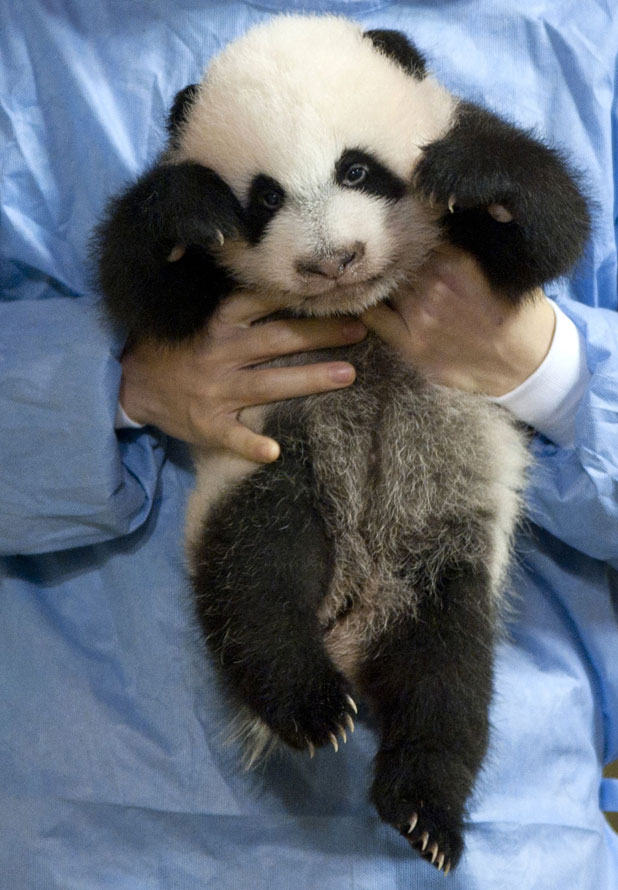 Giant panda cub at Madrid Zoo meets the public for the first time, 8 November 2013