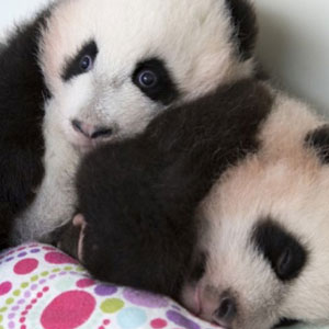 Giant panda bear twin cubs Mei Lun and Mei Huan in an Instagram picture posted by Zoo Atlanta, November 2013