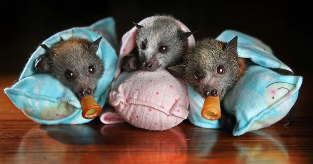 Orphaned baby flying foxes at Wildlife Victoria, Melbourne, Australia - 22 Nov 2013Grey-headed flying foxes wrapped in blankets 22 Nov 2013