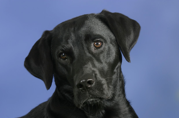 VARIOUS Labrador Retriever, black 2012