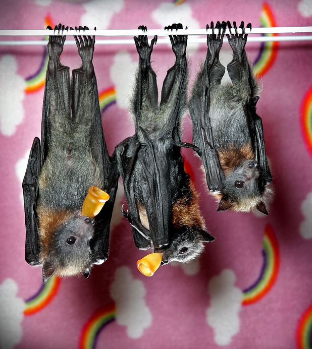 Orphaned baby flying foxes at Wildlife Victoria, Melbourne, Australia - 22 Nov 2013Grey-headed flying foxes 22 Nov 2013