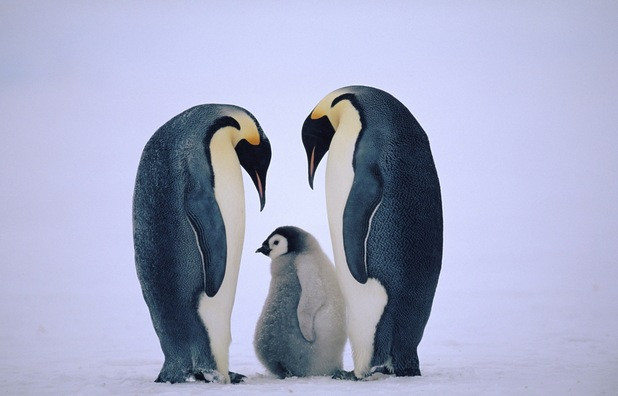 Penguins keeping chick warm