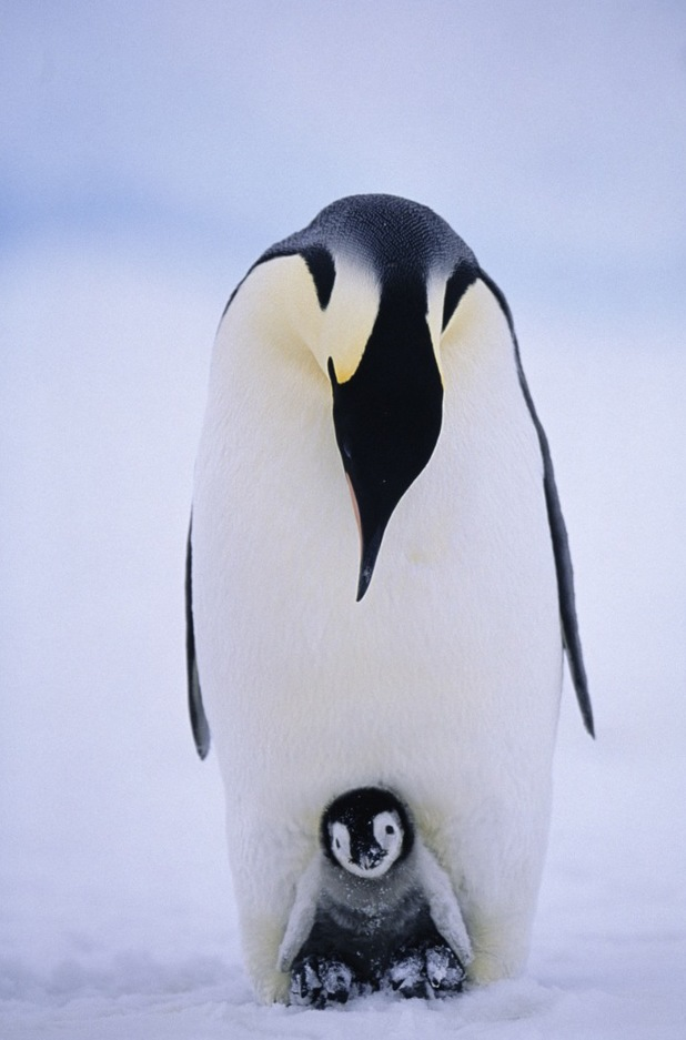 Penguin keeping chick warm