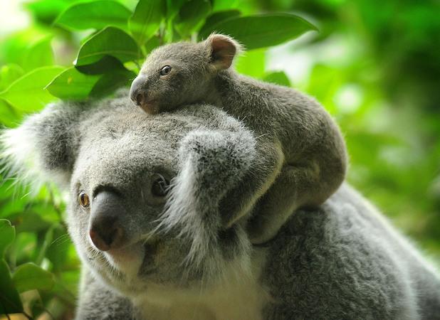 Cute baby koala - photo#10