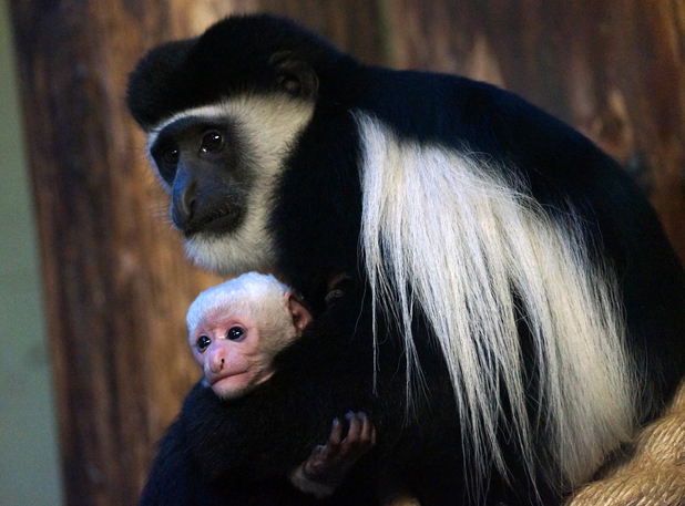 ZSL London Zoo is home to a group of Eastern Black and White Colobus monkeys.