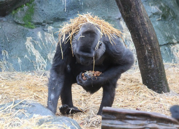 Asili, a gorilla at Chessington World of Adventures Resort, covers herself in a straw 'umbrella' to keep her fur dry and glossy during the recent rain.