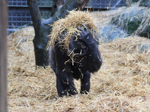 Asili, a gorilla at Chessington World of Adventures Resort, covers herself in a straw 'umbrella' to keep her fur dry and glossy during the recent rain while protecting her baby.