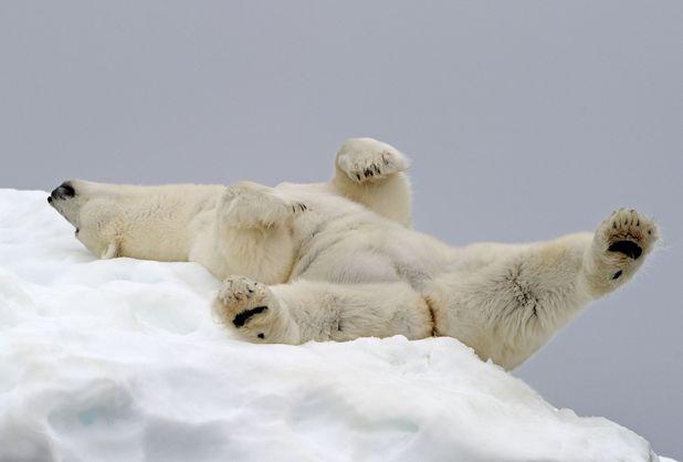 Polar bear asleep on an iceberg in Svalbard, taken by professional wildlife photographer Andy Rouse. 2014