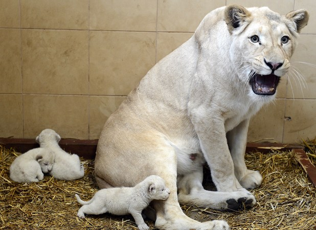 White lions, three new cubs