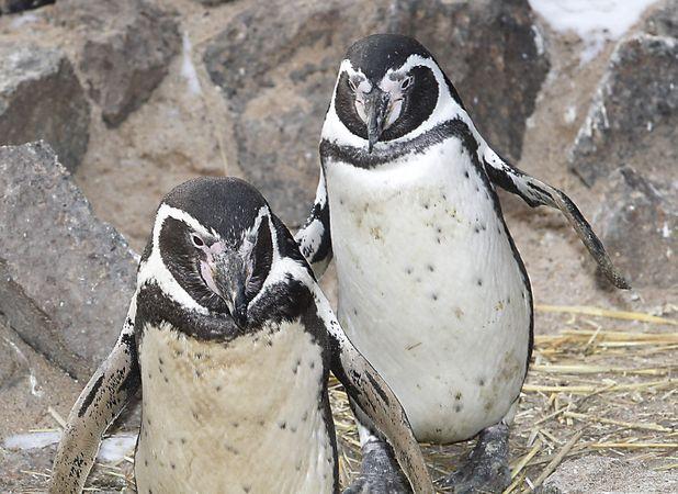 Sad penguins prescribed anti-depressants