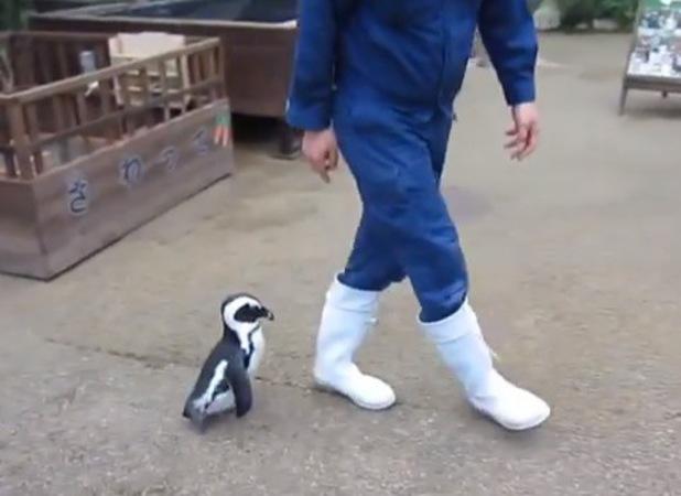 Penguin desperate for company