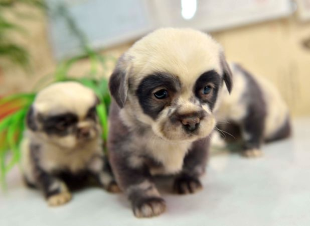 The puppies that look like pandas