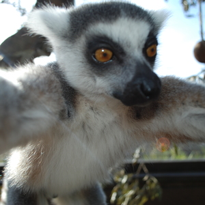 Bekily the ring-tail Lemur snaps a Selfie ZSL London Zoo (6 March).