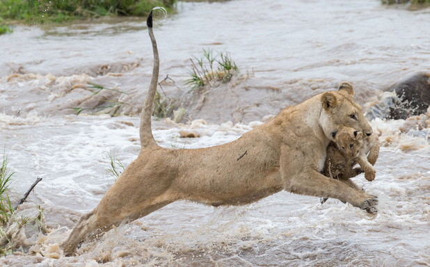 Lioness jumping across the river with cub