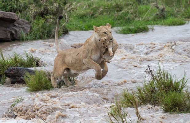 Lioness jumping across the river with cub 2