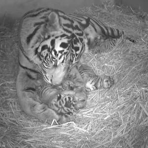 Five-year-old Sumatran tigress Melati gave birth to three triplets at ZSL London Zoo. (13 March).