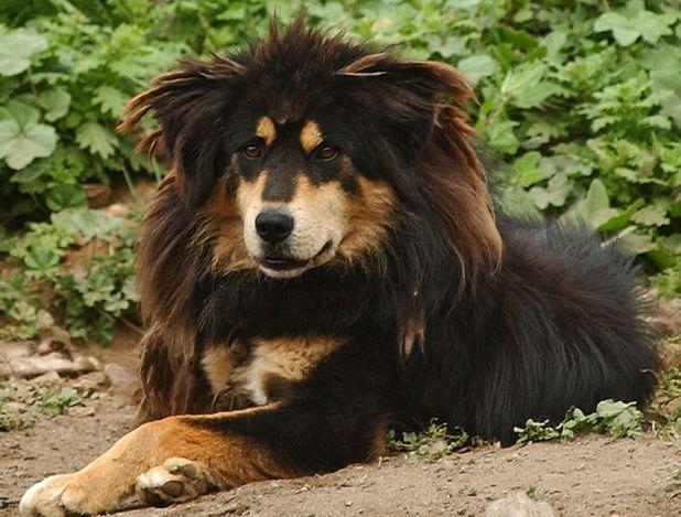 Tibetan mastiff in China