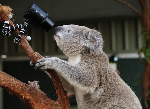 Koalas taking selfies