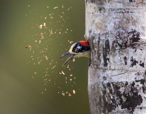 Woodpecker makes a hole in a tree for a nest, Costa Rica, America.