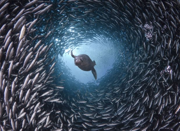Sea lion swimming with fish