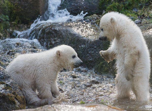 Polar bears Nela and Nobby playing