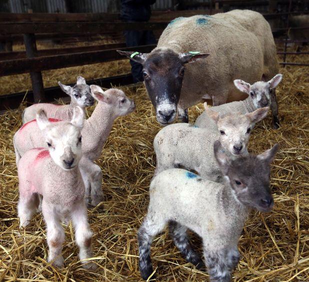 Rare lamb sextuplets born at Colesmoor Farm, Dorset, Britain - 07 Apr 2014 The six baby lambs