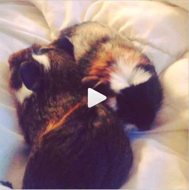 Lydia Bright's guinea pigs Arnold and Albert