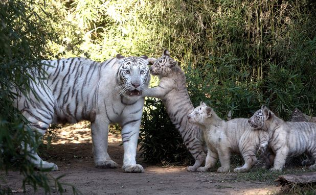 Bengal tiger cubs at Buenos Aires Zoo, Argentina - 16 Apr 2014